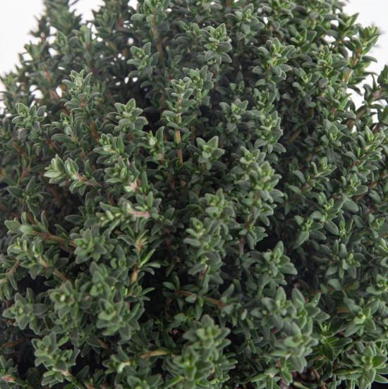 Tymián obecný, Thymus vulgaris, v květináči-7889