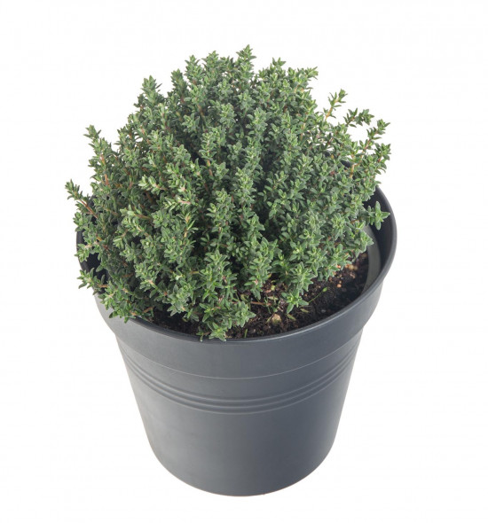 Tymián obecný, Thymus vulgaris, v květináči-7890