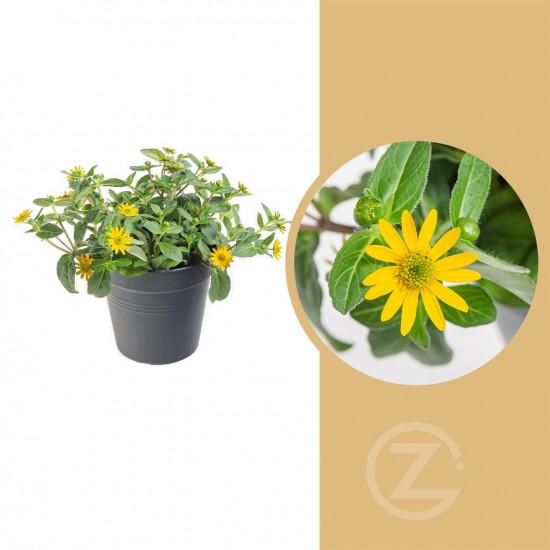 Vitálka, Sanvitalia, žlutá, průměr květináče 13 cm