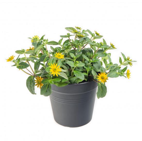 Vitálka, Sanvitalia, žlutá, průměr květináče 13 cm-9025