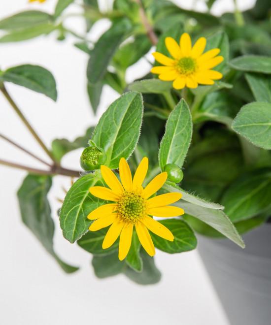 Vitálka, Sanvitalia, žlutá, průměr květináče 13 cm-9026