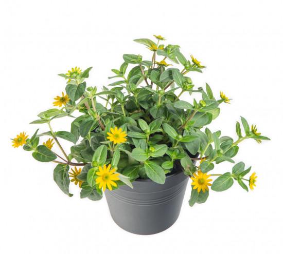 Vitálka, Sanvitalia, žlutá, průměr květináče 13 cm-9027