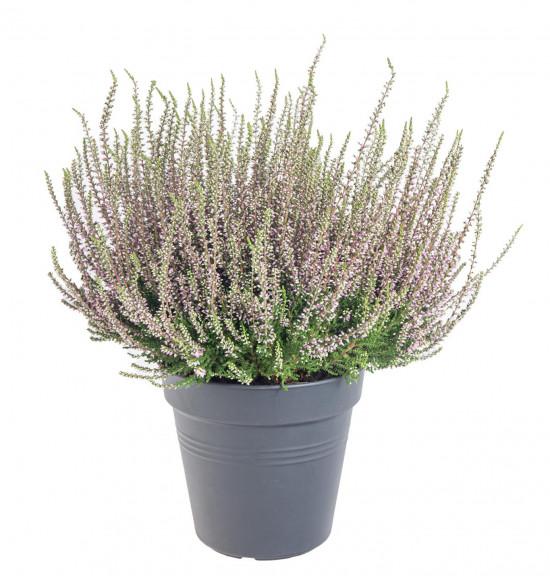 Vřes obecný, Calluna vulgaris, fialový, průměr květináče 17 cm