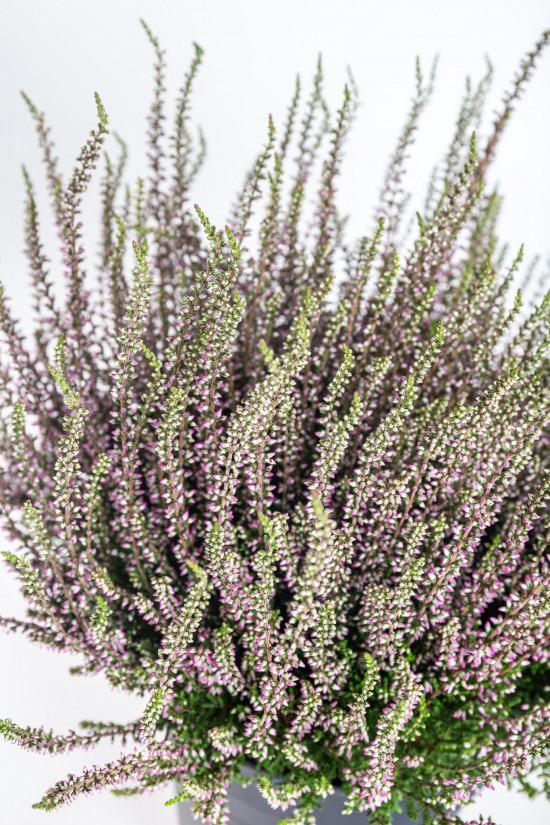 Vřes obecný, Calluna vulgaris, fialový, průměr květináče 17 cm-13000