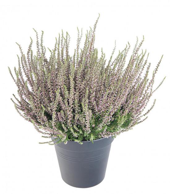 Vřes obecný, Calluna vulgaris, fialový, průměr květináče 17 cm-13003