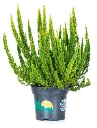 Vřes obecný - Calluna vulgaris skyline tmavě zelený střední-3665