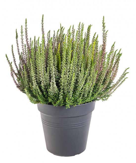 Vřes obecný High Five, Calluna vulgaris, průměr květináče 17 cm