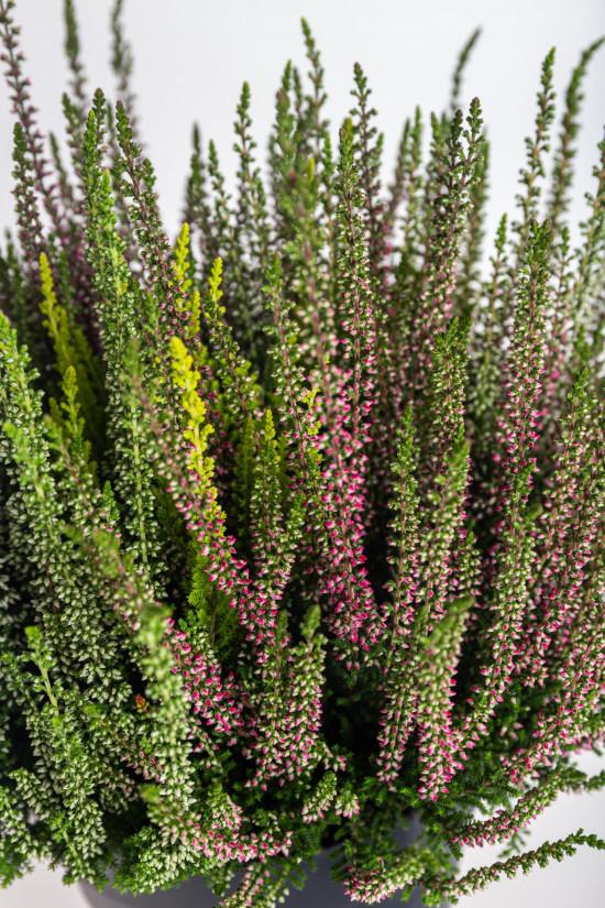 Vřes obecný High Five, Calluna vulgaris, průměr květináče 17 cm-13009