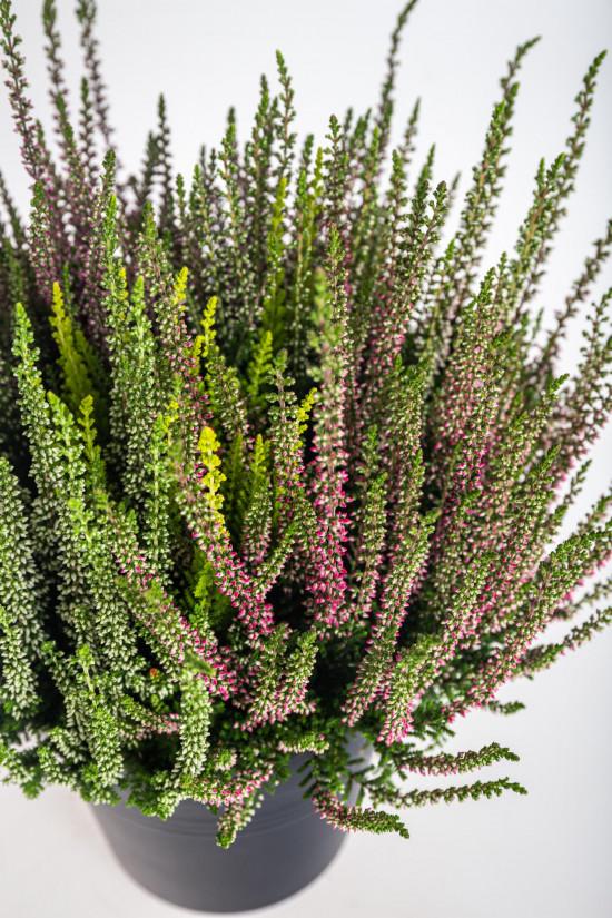Vřes obecný High Five, Calluna vulgaris, průměr květináče 17 cm-13010