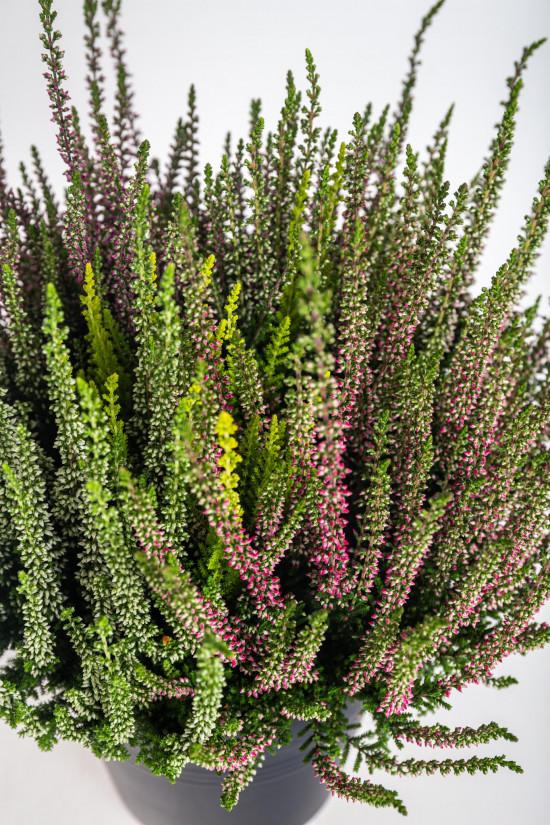 Vřes obecný High Five, Calluna vulgaris, průměr květináče 17 cm-13011