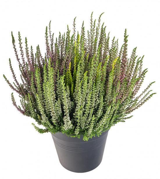 Vřes obecný High Five, Calluna vulgaris, průměr květináče 17 cm-13012