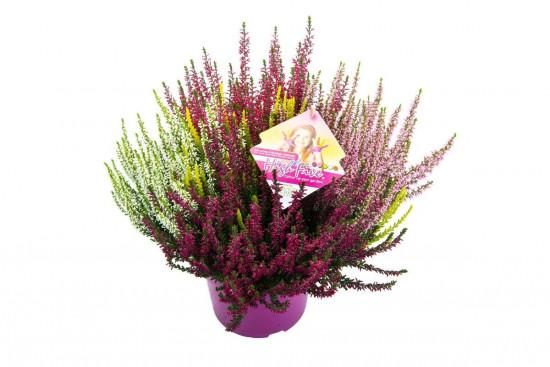 Vřes obecný High Five, Calluna vulgaris, průměr květináče 17 cm-3648