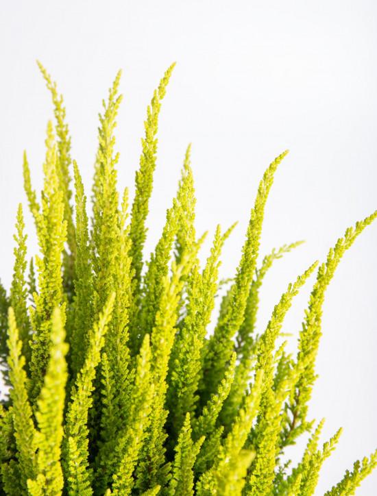 Vřes obecný Skyline, Calluna vulgaris, světle zelený, průměr květináče 17 cm-13041