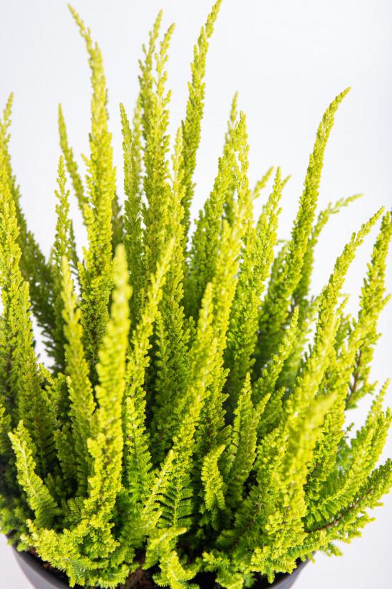 Vřes obecný Skyline, Calluna vulgaris, světle zelený, průměr květináče 17 cm-13043