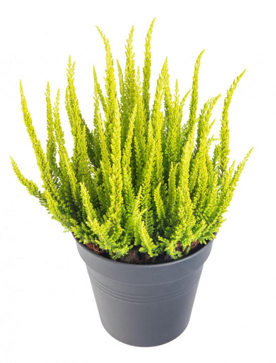 Vřes obecný Skyline, Calluna vulgaris, světle zelený, průměr květináče 17 cm-13044