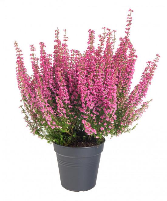 Vřesovec Beauty Queens, Erica gracilis, tmavě růžová, průměr květináče 12 - 13 cm