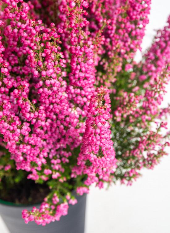 Vřesovec Beauty Queens, Erica gracilis, tmavě růžová, průměr květináče 12 - 13 cm-14487