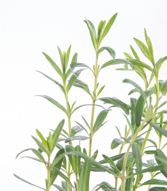 Yzop lékařský, Hyssopus officinalis, v květináči-8134