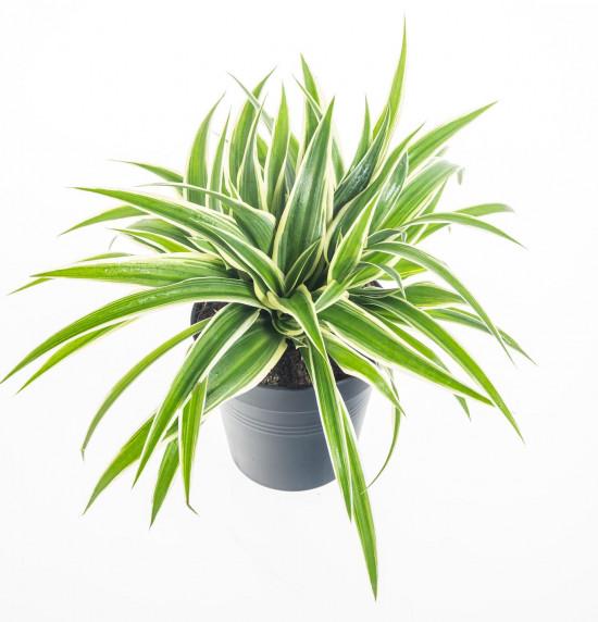 Zelenec, Chlorophytum comosum Ocean, průměr květináče 10cm-7346