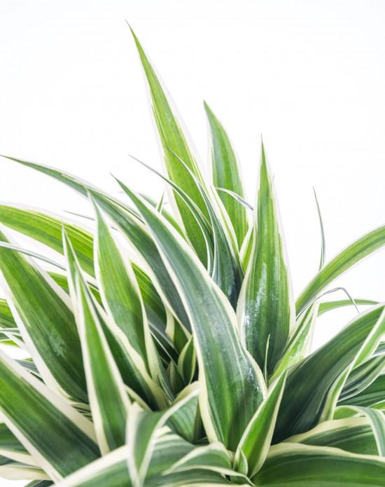 Zelenec, Chlorophytum comosum Ocean, průměr květináče 10cm-7347