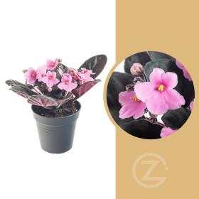 Africká fialka, Saintpaulia, světle růžová