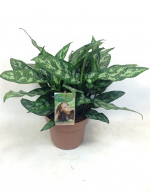 Aglaonema zelenolistá, Aglaonema Maria, průměr květináče 17 cm