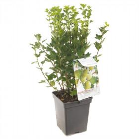 Angrešt bílý, Ribes uva-crispa Hinnomaeki Green, velikost kontejneru 5 l