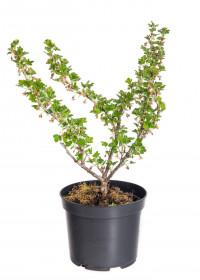 Angrešt bílý, Ribes uva-crispa Invicta, velikost kontejneru 5 l