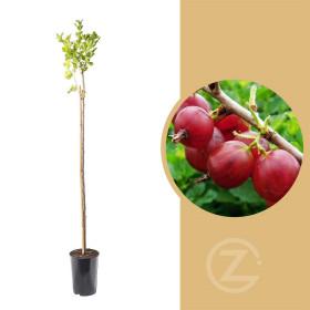 Angrešt červený, Ribes uva-crispa Captivator, na kmínku, velikost kontejneru 3 l