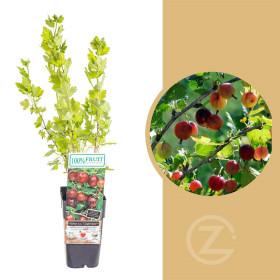 Angrešt červený, Ribes uva-crispa Captivator, velikost kontejneru 1,8 l