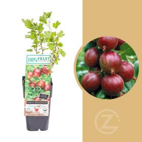 Angrešt červený, Ribes uva-crispa Hinnonmekei Red, velikost kontejneru 1,8 l