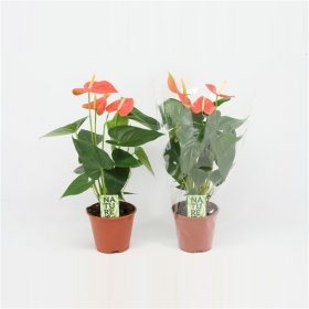 Anthurium andreanum Prince of Orange