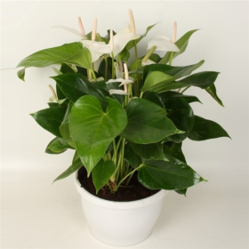 Anthurium andreanum Princess Alexia Snow, 12+