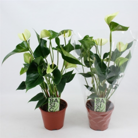 Anthurium andreanum Princess Alexia White