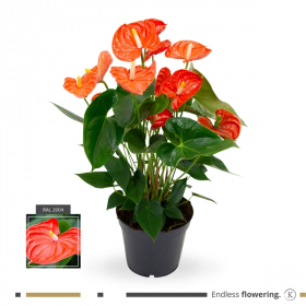 Anthurium andreanum Sierra Orange