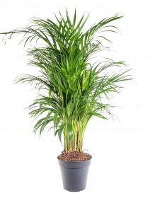 Areka, Areca lutescens, vysoká 100 - 110 cm, průměr květináče 21 cm