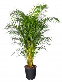 Areka, Areca lutescens, vysoká 160 - 190 cm, průměr květináče 27 cm