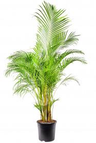 Areka, Areca lutescens, vysoká 180 cm, průměr květináče 35 cm
