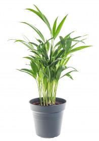 Areka, Areca lutescens, vysoká 30 - 60 cm, průměr květináče 17 cm