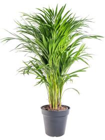 Areka, Areca lutescens, vysoká 60 - 90 cm, průměr květináče 19 cm