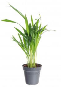 Areka, Areca lutescens, vysoká do 30 cm, průměr květináče 12 cm