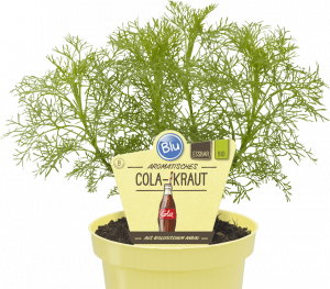 Artemisia abrotanum - Coca Cola bylina