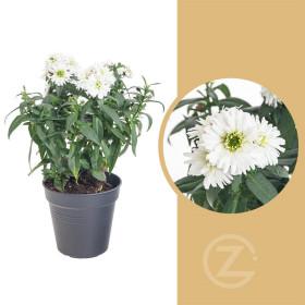 Astra novi - belgii, Hvězdice novobelgická, bílá, průměr květináče 12 cm