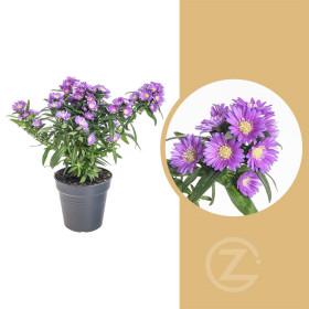 Astra novi - belgii, Hvězdice novobelgická, fialová, průměr květináče 12 cm