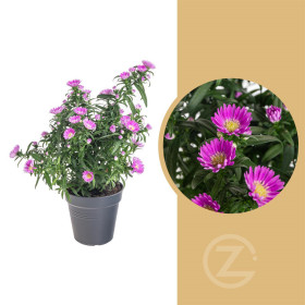 Astra novi - belgii, Hvězdice novobelgická, tmavě růžová, průměr květináče 12 cm