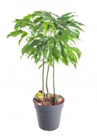 Australský kaštan, Castanospermum, průměr květináče 12 cm