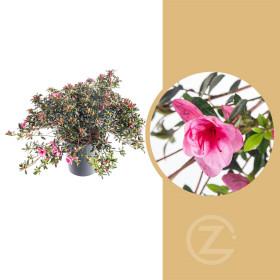 Azalka japonská, Azalea japonica Cascadula, velikost květináče 19 cm