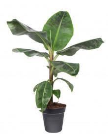 Banánovník zakrslý, Musa dwarf cavendish, vysoký 80 - 100 cm