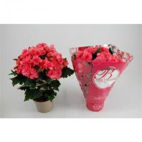 Begonia - pokojová begónie tmavě růžová