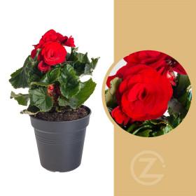 Begónie, Begonia elatior Baladin, červená